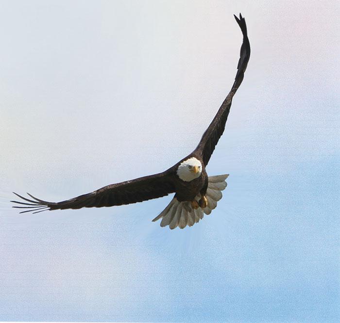 A bald eagle flying